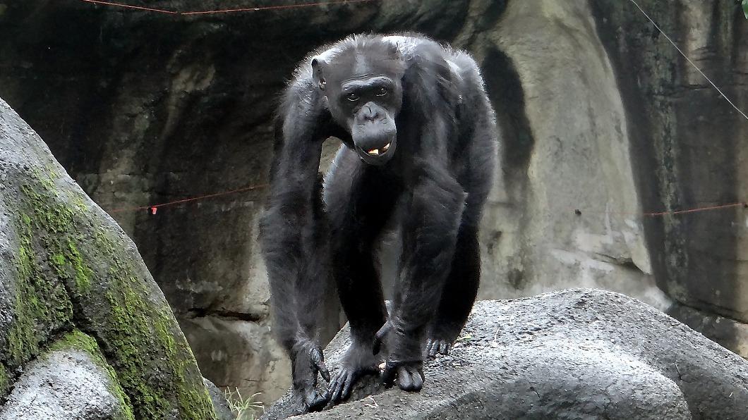 (圖/中央社) 北市動物園51歲黑猩猩阿美 術中呼吸衰竭過世