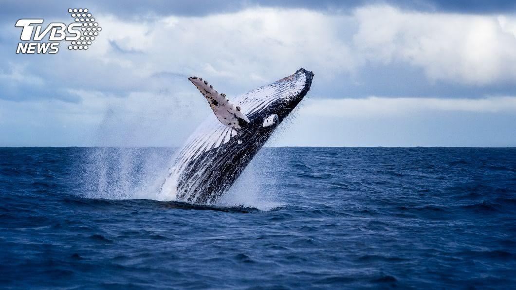 女子與友人賞鯨時,突遭巨大座頭鯨撞翻船隻落水。(示意圖/shutterstock 達志影像) 座頭鯨無預警竄出撞翻船 2女滅頂驚險過程全都錄