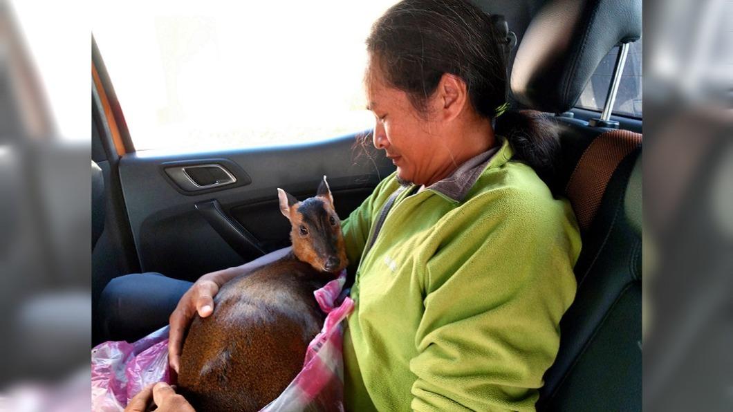 (圖/中央社) 暖男公主抱母山羌送醫不掙扎 連獸醫師都感神奇