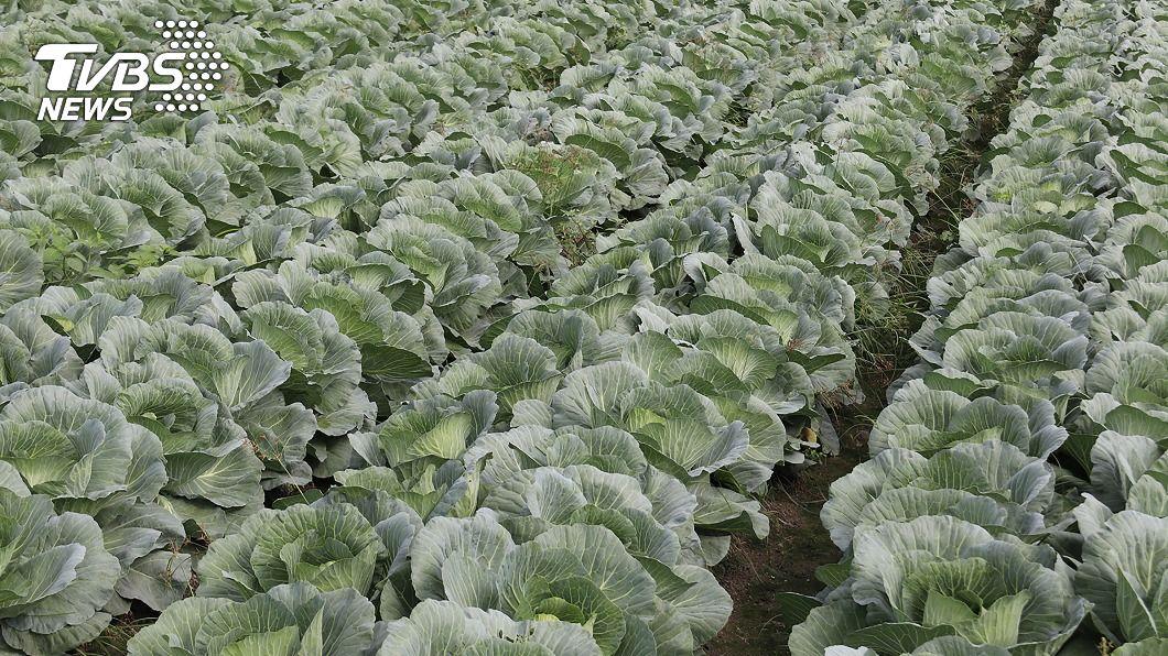 高麗菜栽種再度亮紫燈。(圖/中央社) 高麗菜栽種又紫爆 農糧署籲農民減種或轉作