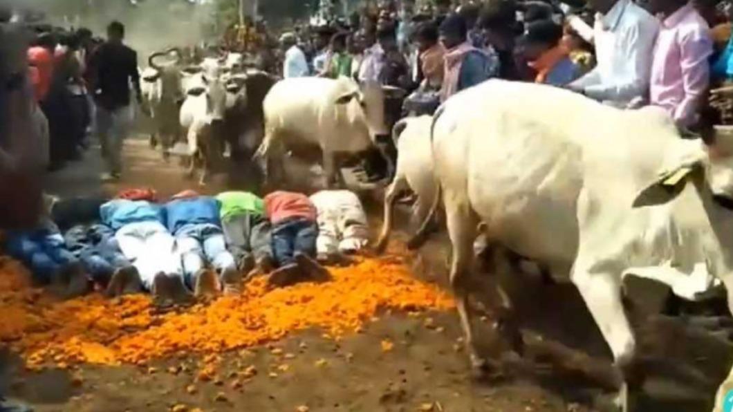 眾人趴地被牛踩,只為祈求好運。(圖/翻攝自微博) 「排燈節」牛群狂奔街道 眾人爭相趴地等被踩