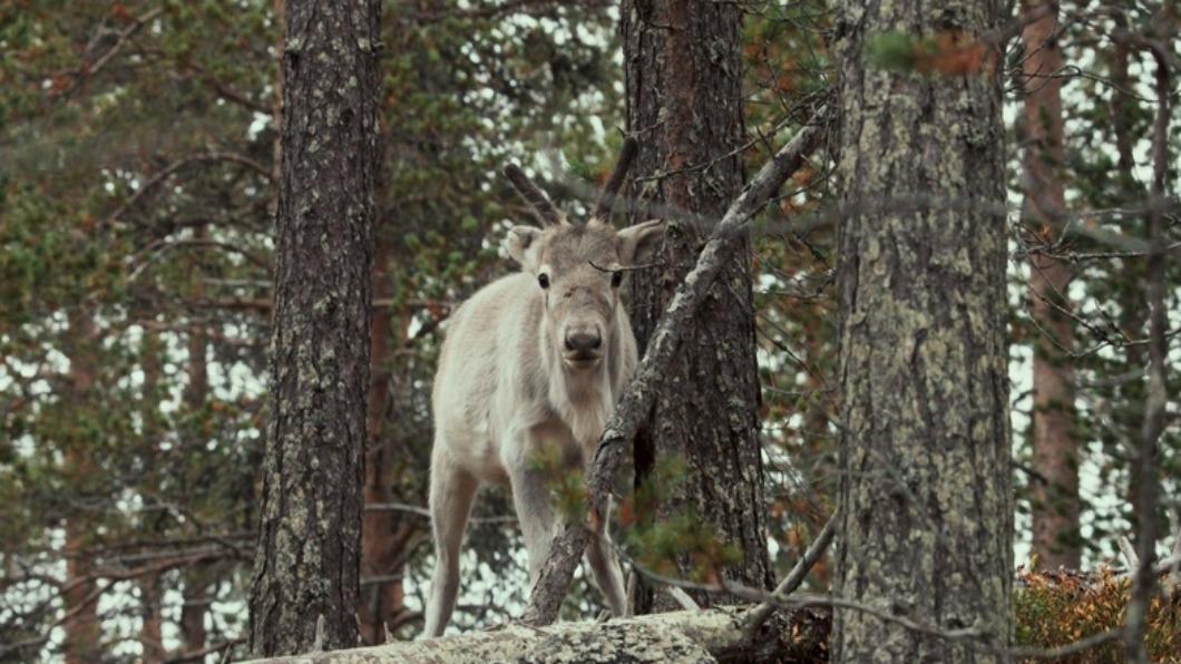 劇照/車庫娛樂 提供 北極蹲點一年 小馴鹿冒險犯難.帶進你我身邊