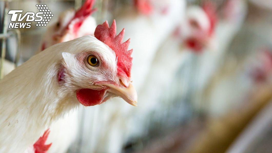 (示意圖/shutterstock 達志影像) 日本禽流感蔓延16縣 9成養雞場有老鼠侵入縫隙