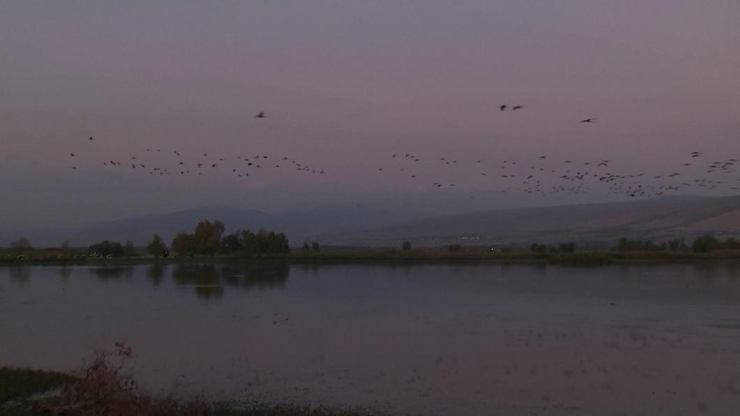 因氣候變遷遲到了 上萬鶴鳥遷徙超壯觀