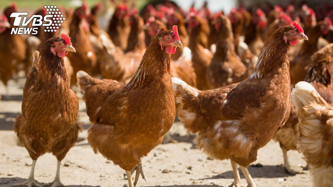 日本宮崎縣連續3天爆發禽流感疫情。(示意圖/shutterstock 達志影像) 日本宮崎連3天爆禽流感疫情 撲殺逾10萬隻雞