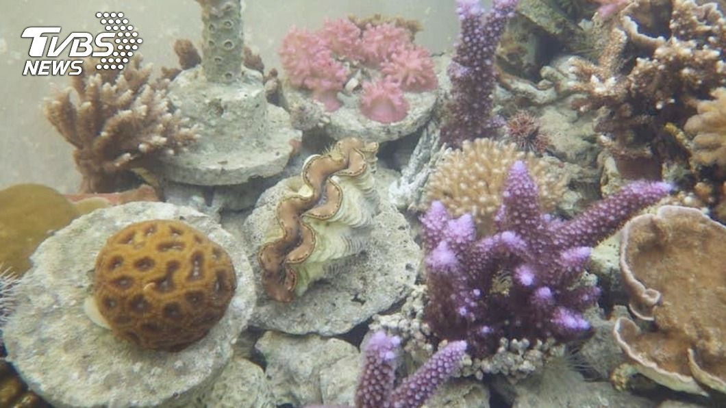 (圖/中央社) 澎湖珊瑚礁復育奇兵 培育桶成本低適用種類繁多