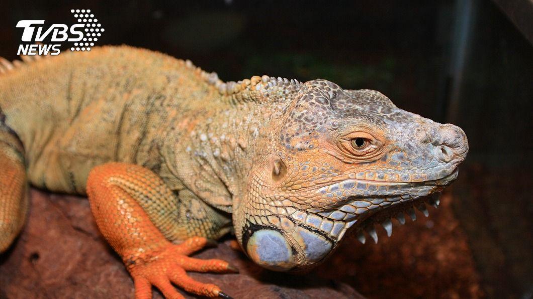 綠鬣蜥。(圖/中央社) 綠鬣蜥飼養登記30日截止 逾期未申辦最高罰5萬