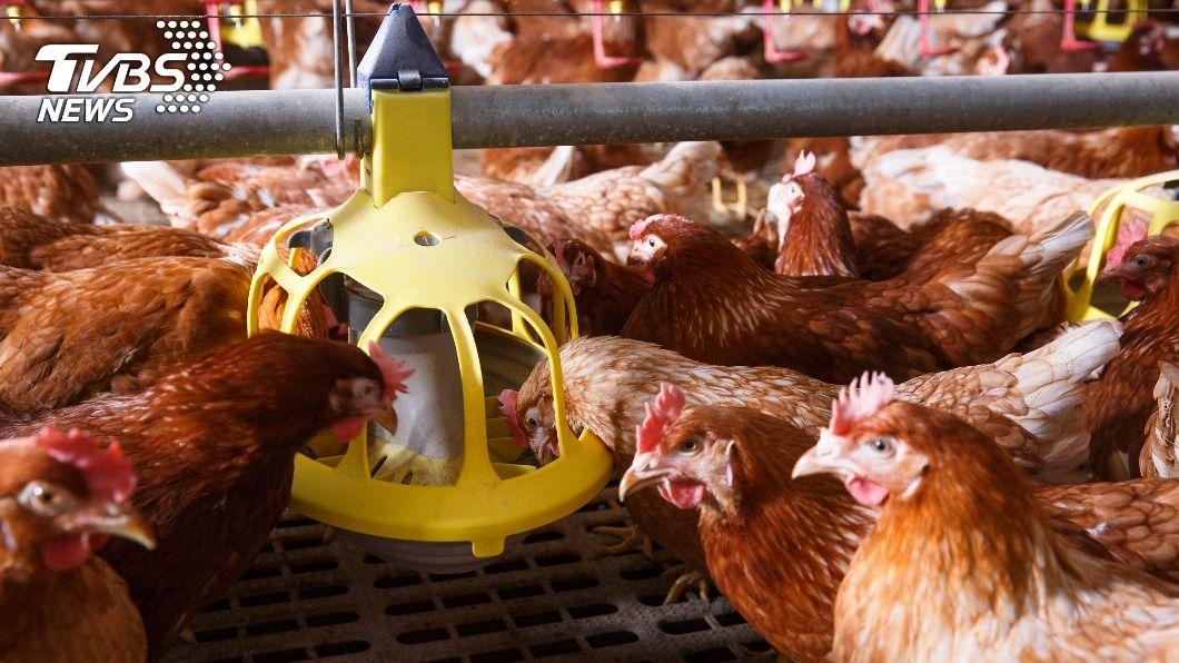 (示意圖/shutterstock 達志影像) 日本禽流感疫情延燒 肉雞飼養居冠宮崎縣爆2例