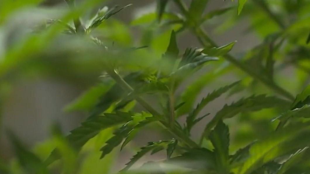 聯合國開綠燈! 歷史性承認藥用大麻