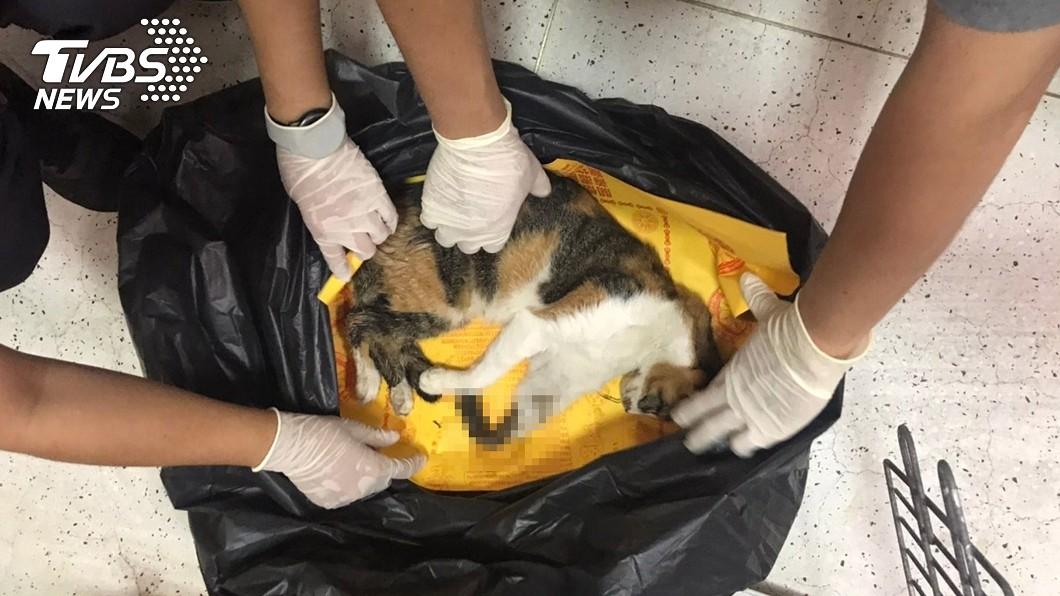一隻流浪貓被捕獸鋏夾到,前肢發黑、潰爛身亡。(圖/中央社) 放捕獸鋏害死流浪貓 老農遭送辦「最高罰7萬5千元」