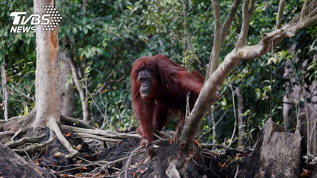 印尼北蘇門答臘紅毛猩猩僅存約300隻。(圖/達志影像路透社) 紅毛猩猩棲息印尼雨林 保育員憂疫情加劇盜獵
