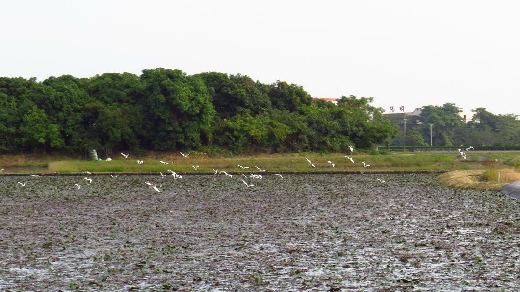 (圖/中央社) 缺水棲地減少 台南水雉數量較去年少18隻