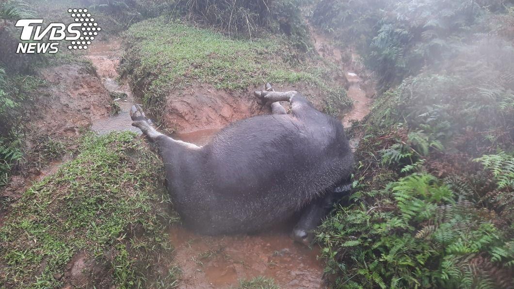 擎天崗暴斃牛隻的牛頭、牛角疑消失。(圖/中央社) 擎天崗暴斃水牛疑「頭、角消失」 陽管處駁:沒這回事