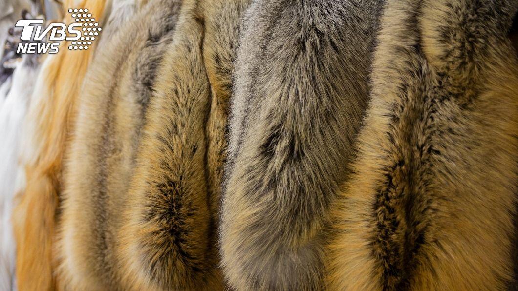 丹麥因疫情撲殺水貂,導致貂皮市場大亂。(示意圖/shutterstock 達志影像) 丹麥防疫撲殺水貂 貂皮毛草價漲買家改搶狐狸毛