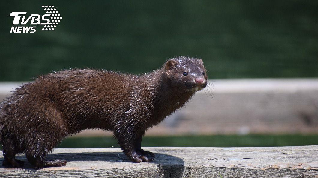(示意圖/shutterstock 達志影像) 美猶他州發現水貂確診新冠 成野生動物染疫首例