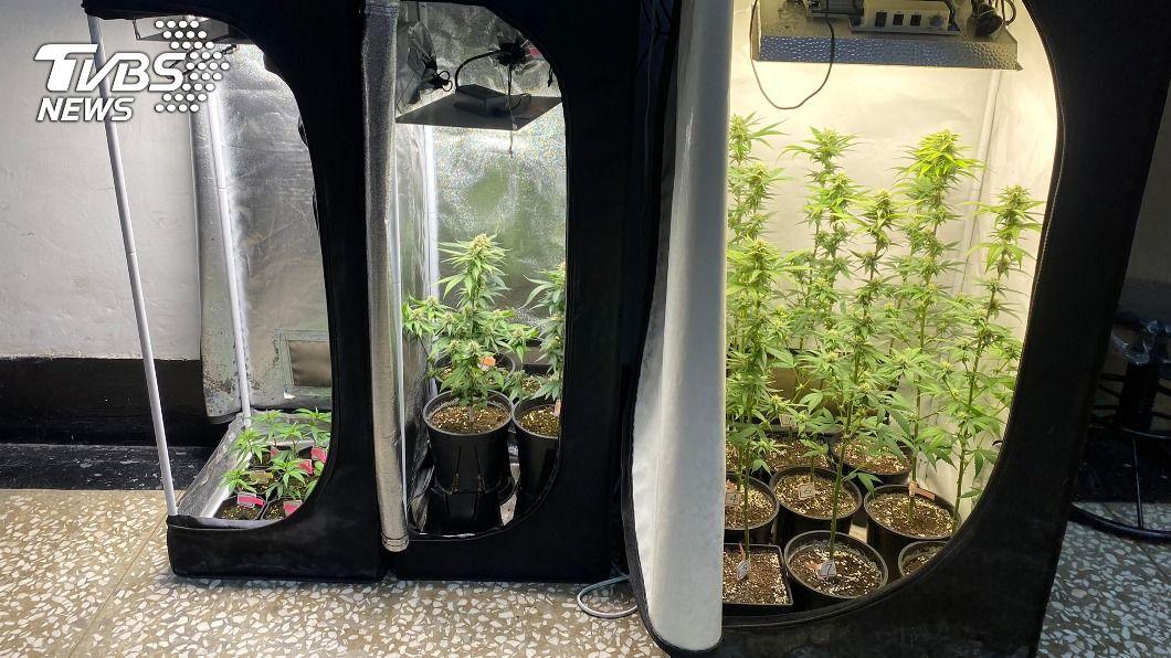 高雄男子自學種大麻。(圖/中央社) 高雄男子自學種大麻吸食 落網稱為舒緩炒股壓力