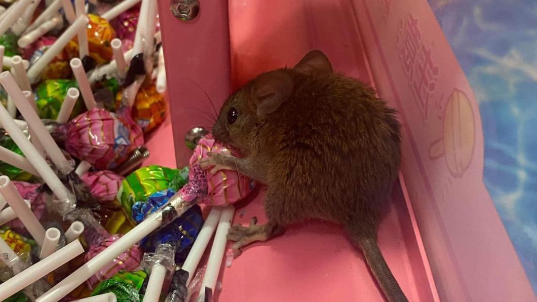 一名媽媽在汐止百貨棒棒糖機內驚見老鼠。(圖/翻攝自臉書社團「內湖 & 松山 & 南港 & 汐止 集團」) 汐止糖果機噁見「老鼠吃Buffet」!母拉兒驚逃