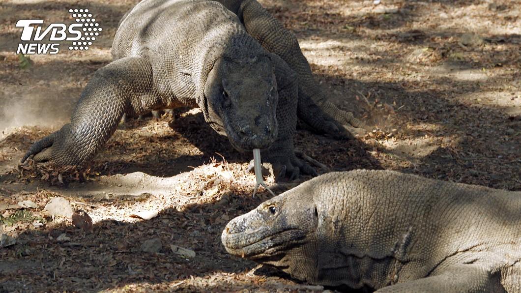 科摩多巨蜥為全球體型最大的蜥蜴。(圖/達志影像路透社) 《侏儸紀》真實版!男遇「恐龍襲擊」全身多處被撕咬
