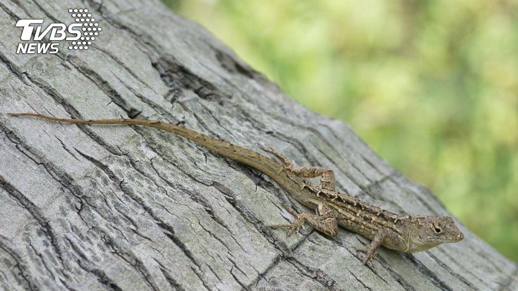 外來種「沙氏變色蜥」在野外氾濫成長。(圖/中央社) 氾濫不輸綠鬣蜥 「沙氏變色蜥」入侵10餘年仍難控制