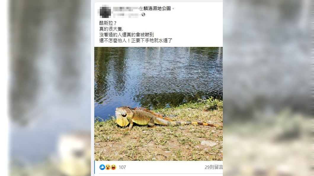 屏東民眾在溼地公園看見大型綠鬣蜥出沒。(圖/翻攝自麟洛好地方--終身麟洛魂臉書社團) 酷斯拉樂園?屏東「綠鬣蜥群」曬太陽 民眾:完全不怕人