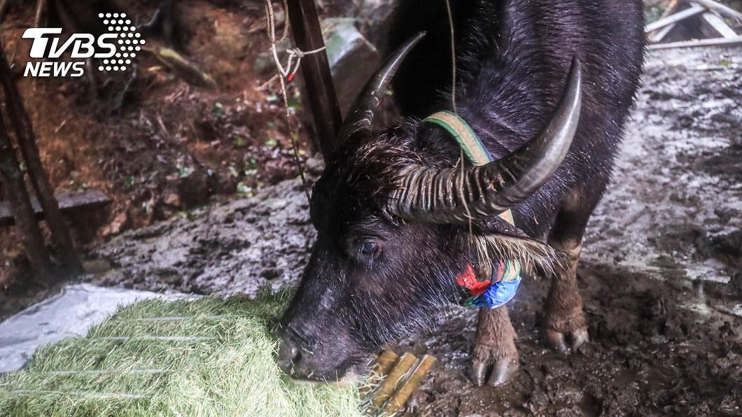 陽管處巡查野化水牛。(圖/中央社) 下週掉到剩3度 陽管處緊急巡查擎天崗虛弱水牛