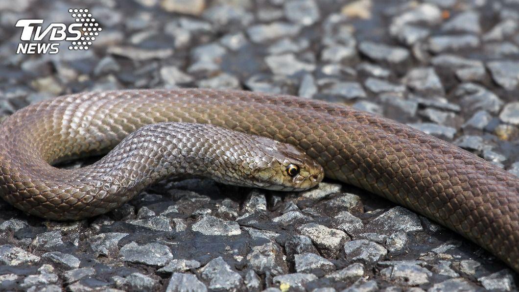(示意圖/Shutterstock達志影像) 3歲童遭「致命毒蛇」猛咬 超強阿嬤1招救命醫生讚嘆