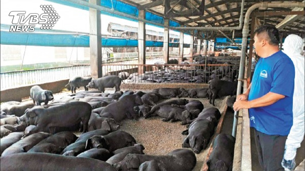新北市要求廚餘養豬戶也要「零萊劑」。(圖/新北市動保處提供) 萊豬登台倒數 新北市府:廚餘只回收「台灣豬」