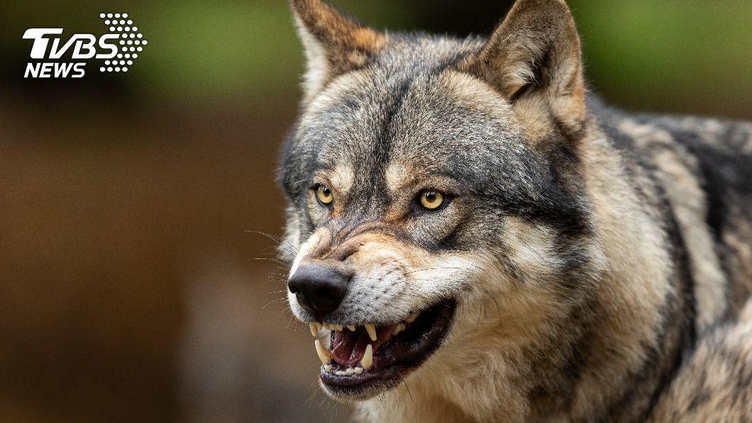 俄羅斯一名農夫的農舍遭野狼闖入。(示意圖/Shutterstock達志影像) 巨狼闖農舍咬死2愛犬 勇男「徒手搏鬥」怒斷頸復仇