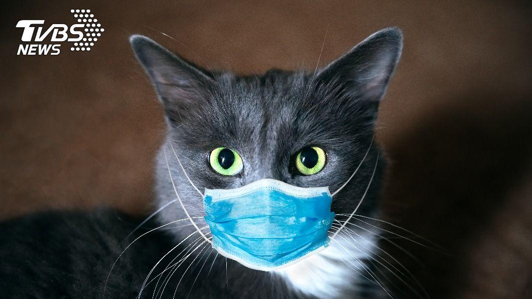 研究指出,貓感染冠狀肺炎6天後,雖呈現陰性,但肺部仍持續發炎。(示意圖/shutterstock達志影像) 貓染新冠後遺症 研究:染病轉陰性後肺部仍發炎