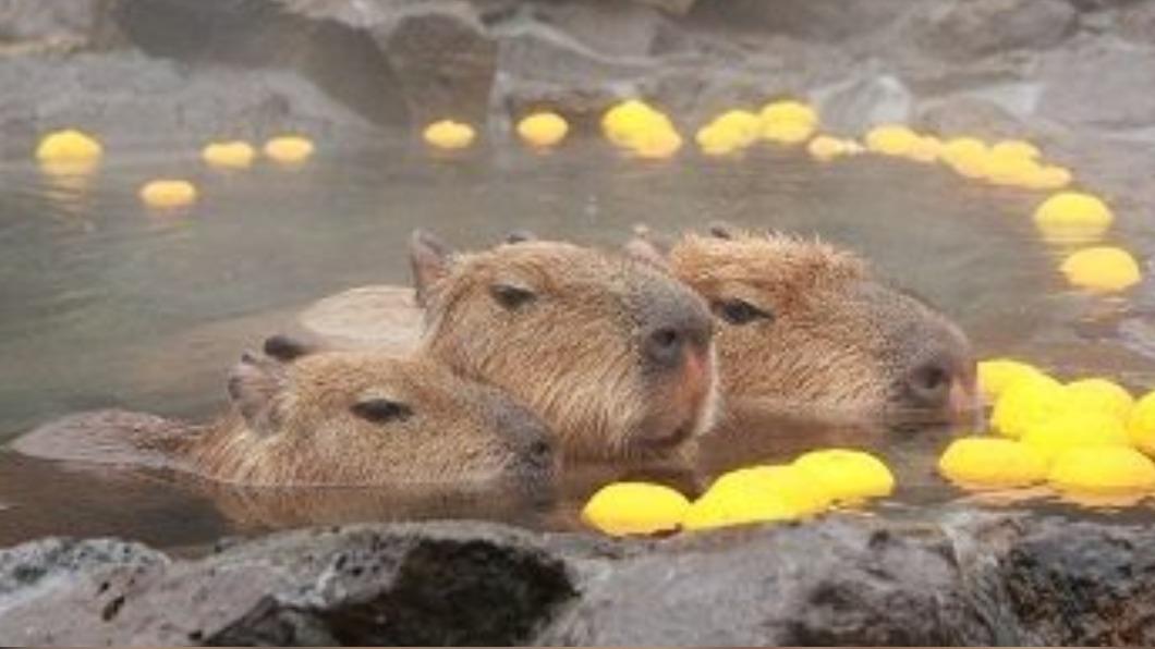 日本5間動物園昨(9)日舉辦「誰家水豚泡湯泡最久」比賽。(示意圖/翻攝自「早稲田edu日本語学校」臉書) 日5家動物園辦泡湯賽 1歲水豚泡104分鐘奪冠
