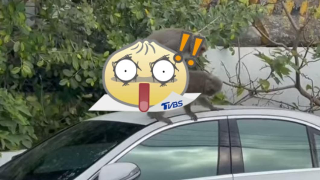 民眾在高雄柴山目擊台灣獼猴車震。(圖/翻攝自爆廢公社公開版) 柴山雙猴賓士「纏綿狂震」噴2條 車主臉綠幫清子孫