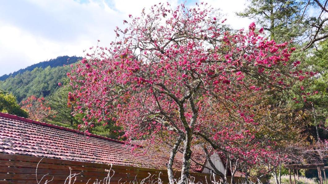 武陵農場櫻花季預計為2月12日至3月1日。(圖/翻攝自武陵農場 Wuling Farm臉書) 上山朝聖日限6千人! 武陵「櫻花季」下月登場