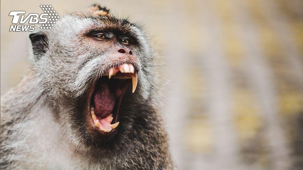 野生公猴闖入民宅攻擊。(示意圖/shutterstock 達志影像) 野猴闖民宅狂咬 新生兒「肚破腸流」噴血險喪命
