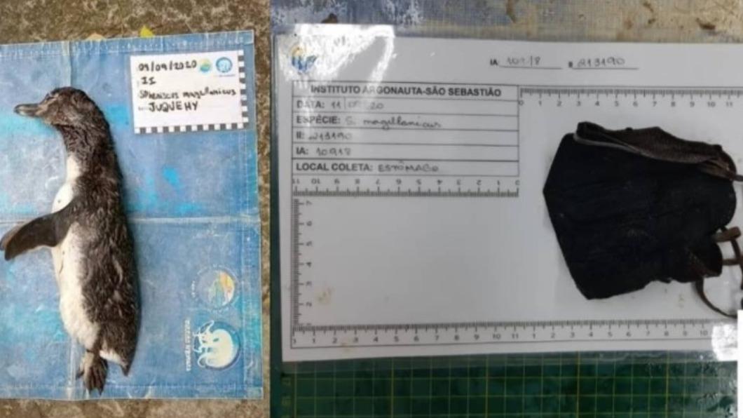 企鵝屍體的胃袋中挖出廢棄口罩。(圖/翻攝自Instituto Argonauta Ubatuba IG) 防疫神器慘淪動物殺手 企鵝胃袋挖出「纏繞口罩」