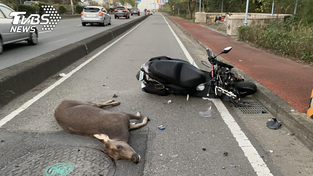 水鹿慘遭閃避不及的車輛撞死。(圖/中央社) 野鹿暴衝遭「3車連環撞」亡 網揪凶:鹿死誰手?