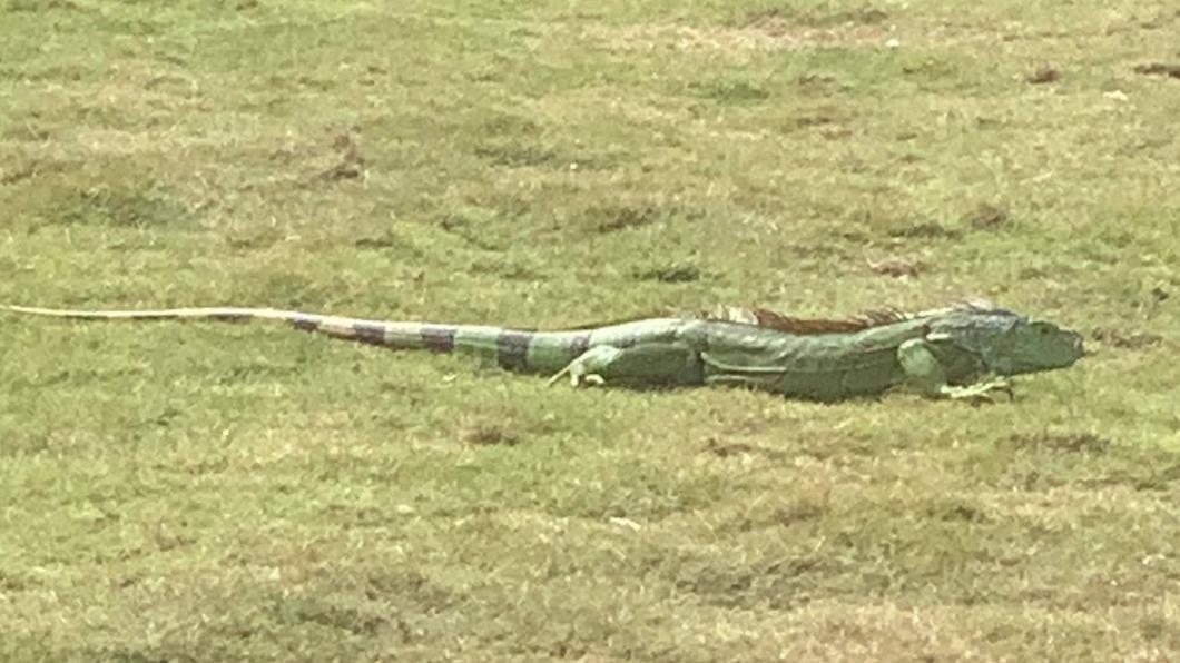 民眾發現綠鬣蜥現蹤小琉球。(圖/翻攝自臉書社團「小琉球聯盟」) 綠鬣蜥「登陸小琉球」! 霸占草皮嚇壞當地人