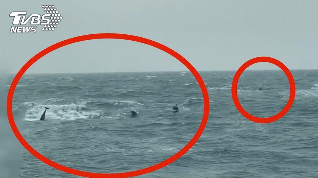 苗栗縣新埔外海2.5浬處發現有40多隻海豚群聚。(圖/中央社) 海豚家族現蹤苗栗 40多隻追逐巡防艇嬉戲