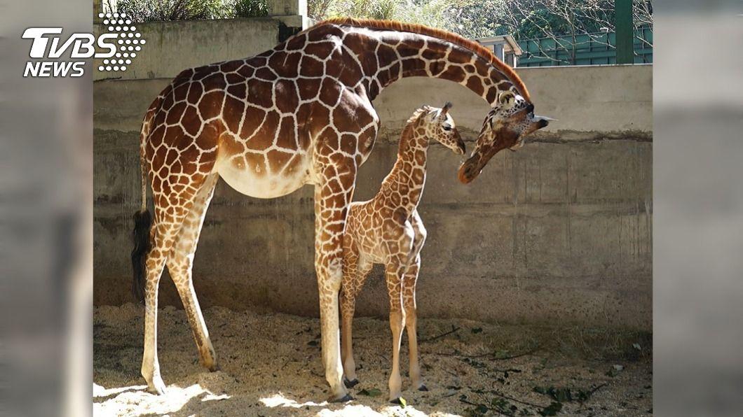 北市動物園長頸鹿「小麥」與寶寶「麥芽」。(圖/中央社) 北市動物園長頸鹿寶寶取名麥芽 未滿月體重破百
