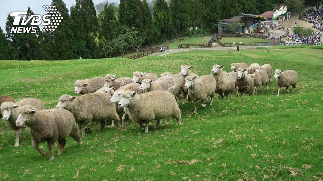 圖為清境農場的綿羊。(圖/中央社) 農曆春節出遊注意 日月潭、合歡山等景點估湧車潮