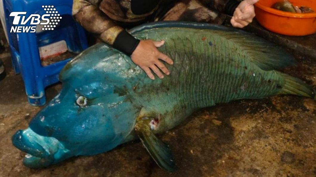 (圖/TVBS) 保育類龍王鯛再傳悲劇 蘭嶼2男稱釣上岸已死亡