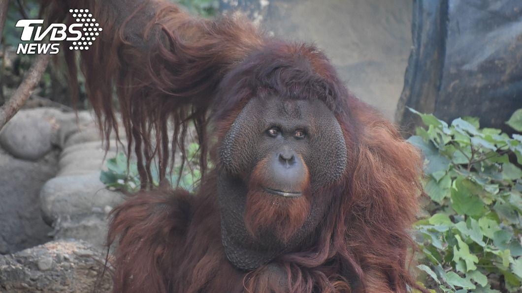 新竹市立動物園的紅毛猩猩「雄大」。(圖/中央社) 竹市紅毛猩猩「雄大」返家 經1個月適應對外亮相