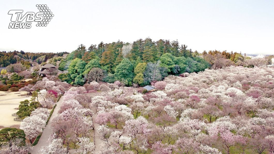 日本茨城縣的偕樂園冬至梅已綻放。(圖/中央社) 日本茨城名園梅花綻放 疫情影響等嘸人