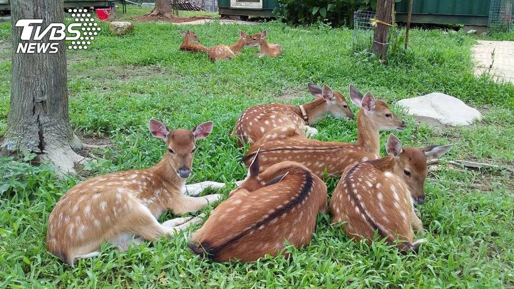 金山區鹿羽松牧場,有和日本奈良一樣的梅花鹿四處遊走。(圖/中央社) 春節避車潮玩新北 台版奈良與梅花鹿可愛相遇
