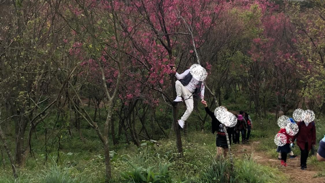 男遊客為了拍美照,竟然直接爬上櫻花樹。(圖/翻攝自爆料公社二社) 男遊客爬櫻花樹只為拍美照 網批公德心低落:猴年還沒到