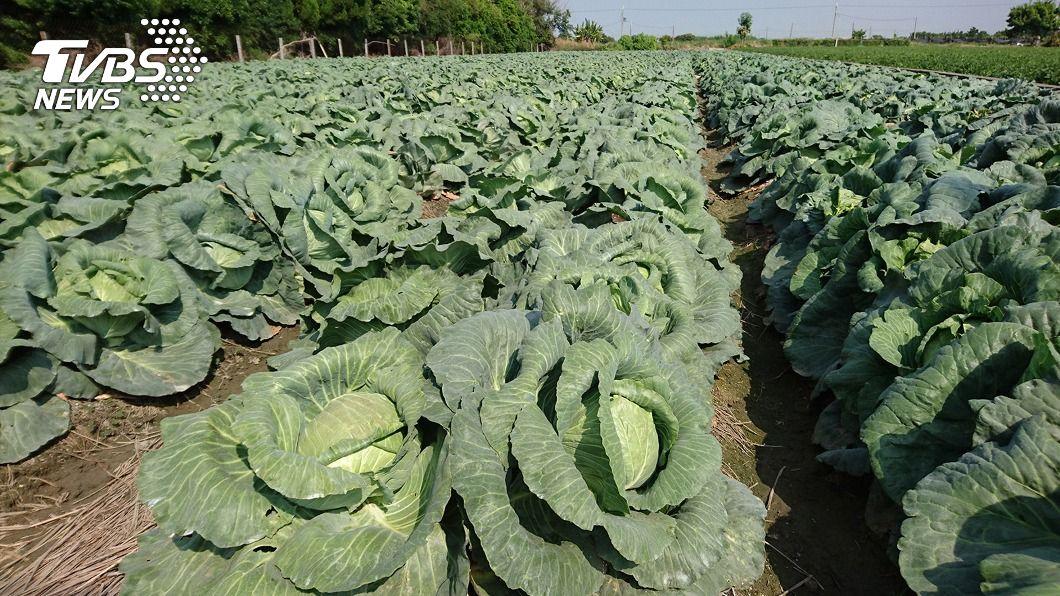 (圖/中央社) 農民搶種高麗菜價續跌 農糧署盼藉外銷搶救
