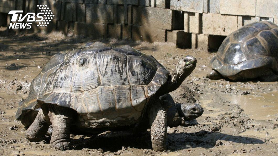 北市動物園象龜因腳力差難繁殖。(圖/中央社) 腳力差難繁殖 北市動物園亞達伯拉象龜勤爬山