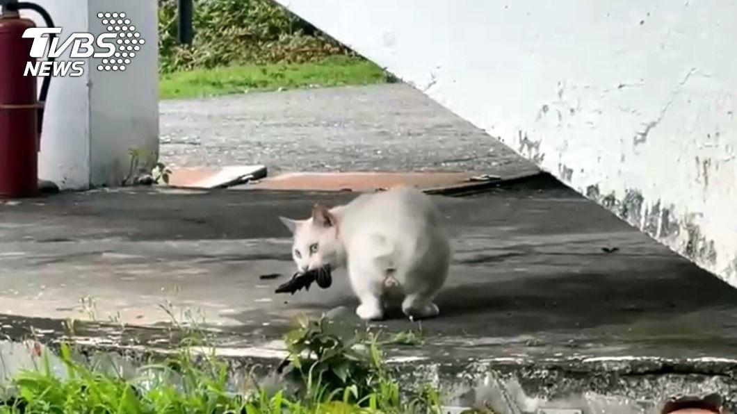 貓抓老鼠不稀奇,台東一間國小的校貓竟飛撲燕子填飽肚。(圖/中央社) 餓了一個寒假 喵星人秀絕技飛撲燕子填飽肚