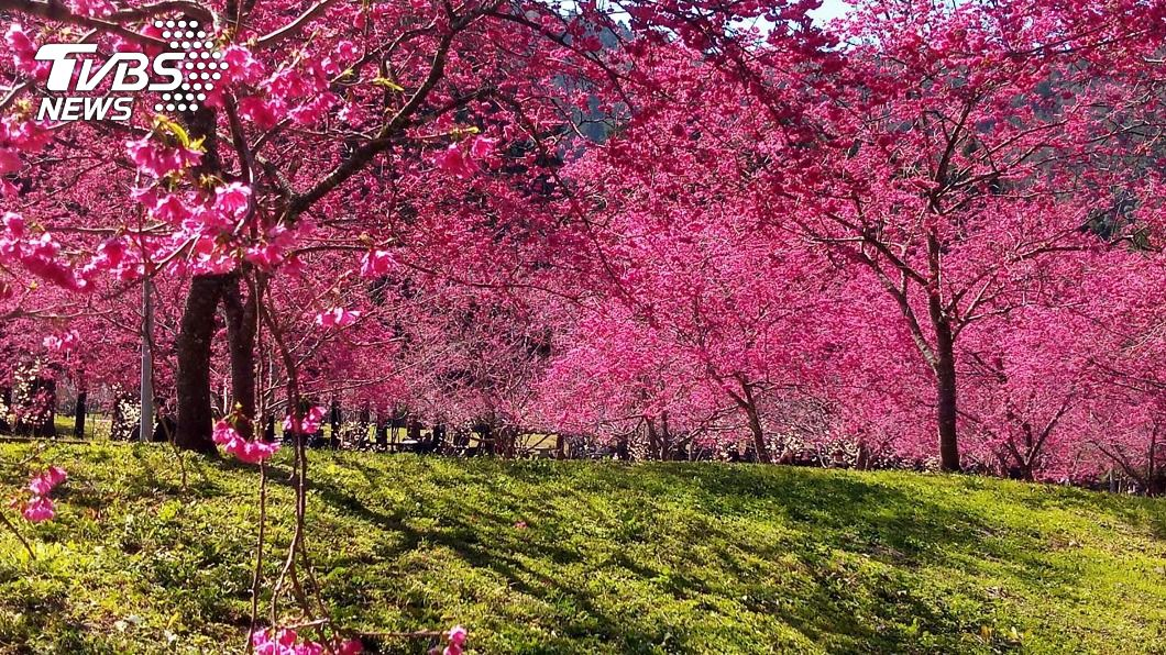 九族文化村櫻花盛開。(圖/中央社) 多種櫻花同時綻放 紅粉白點綴九族文化村