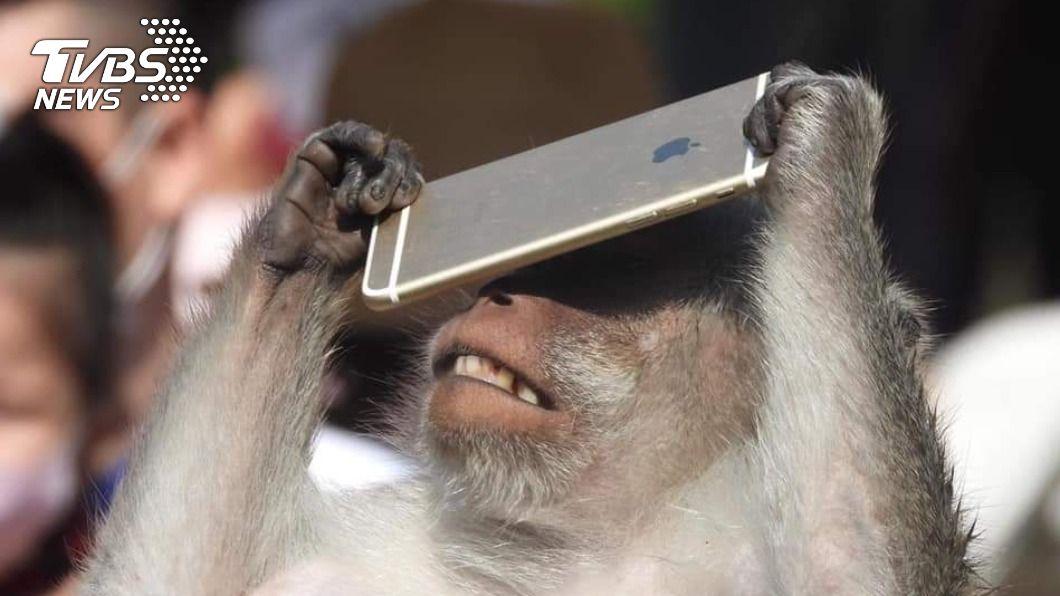 新竹動物園遊客手機不小心掉落展場,馬來猴撿起把玩。(圖/網友提供) 新竹動物園遊客掉手機 馬來猴「發現酷東西」撿起狂滑