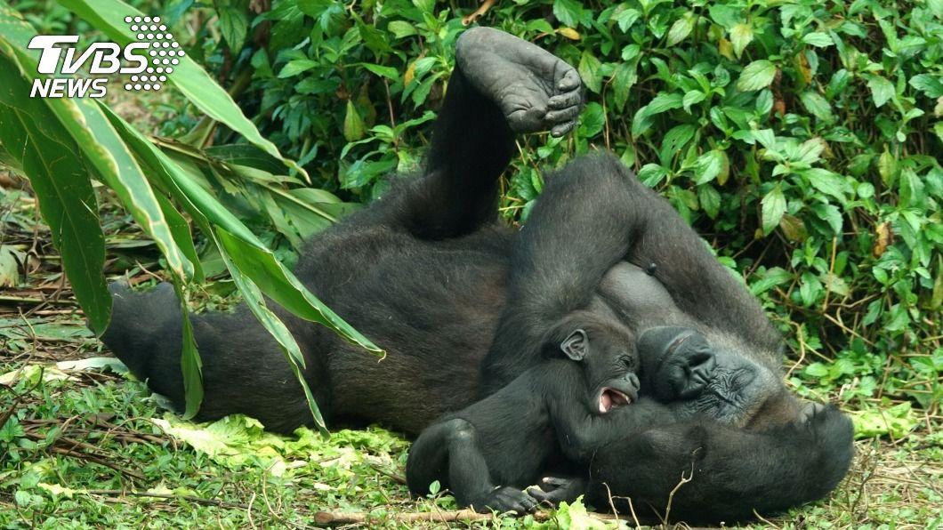 金剛猩猩寶寶Jabali已四個月大。(圖/中央社) 北市動物園金剛猩猩Jabali長大了 用嘴探索世界
